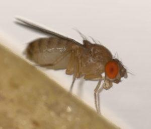 The vinegar fly Drosophila melanogaster.