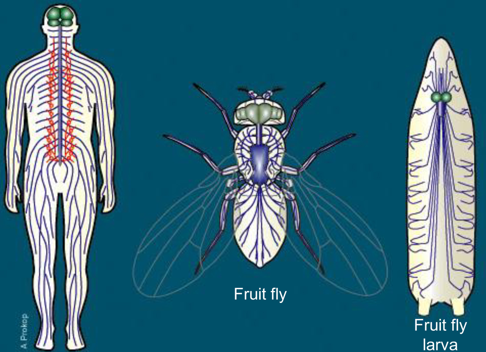 Of Flies And Men Investigating Human Disease In Fruit Flies Atlas