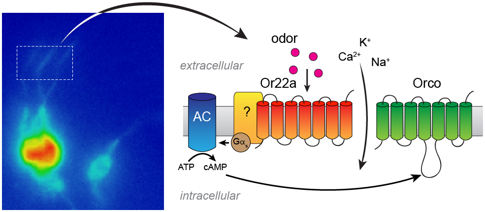 Drosophila olfactory neurons expressing the Or22a odorant receptor visualized thanks