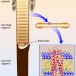albert-rod-cell-t