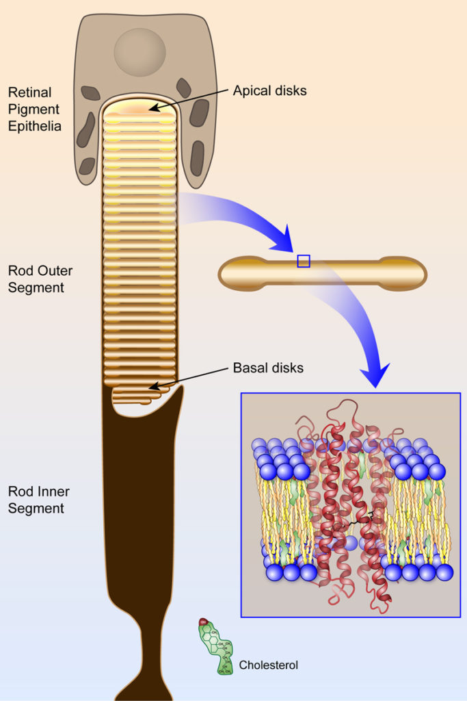 The Rod Outer Segment