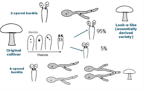 why are all button mushroom cultivars similar atlas of science rh atlasofscience org Mushroom Gills with Basidia Mushroom Basidia and Spores