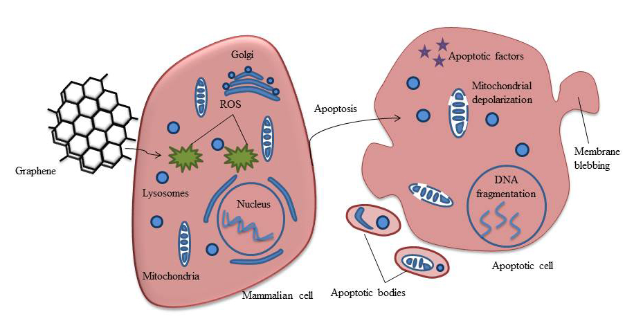 Mechanism of toxicity induced by graphene. Graphene enters the cell either by penetration of lipid membrane or via endocytosis. Inside the cell it induces the formation of reactive oxygen species. ROS causes mitochondrial membrane depolarization releasing proapoptotic factors and activates caspases eventually leading to cell death