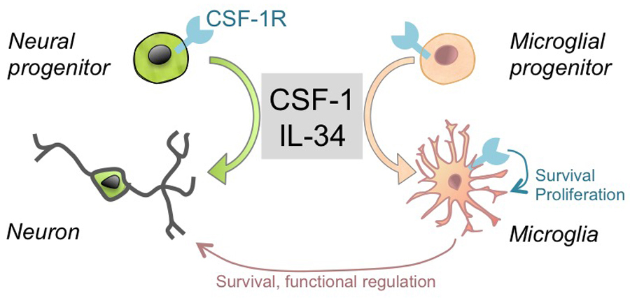 Role of CSF-1R in the development and function of the nervous system