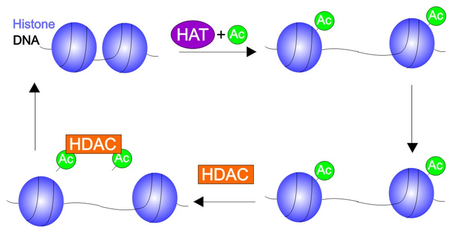 HATs On\': A small molecule with big potential in epigenetic therapy ...