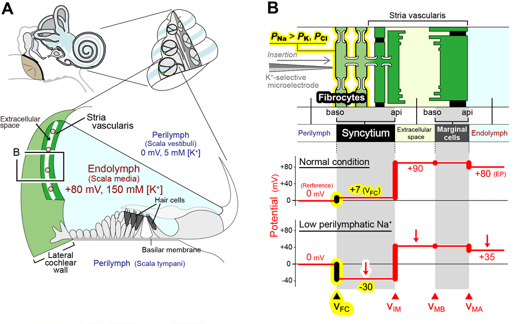 The Positive Resting Membrane Potential Of Non Excitable Fibrocytes