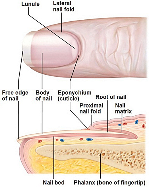 Fingernails – a window into the world of disease | Atlas of Science