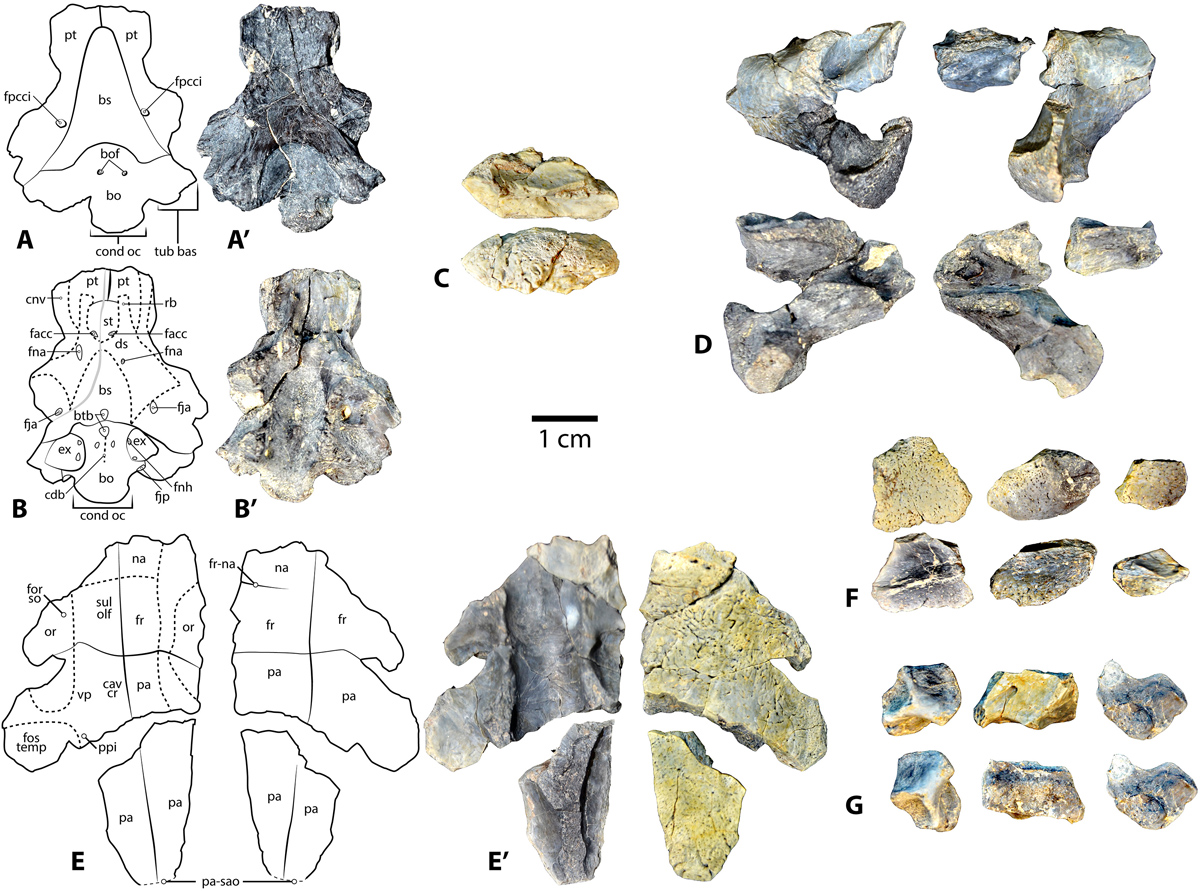 New turtle fossils from Uinta Basin represent last documented ...