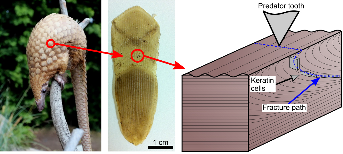 internal structure of scaly armor enables bite resistance in the