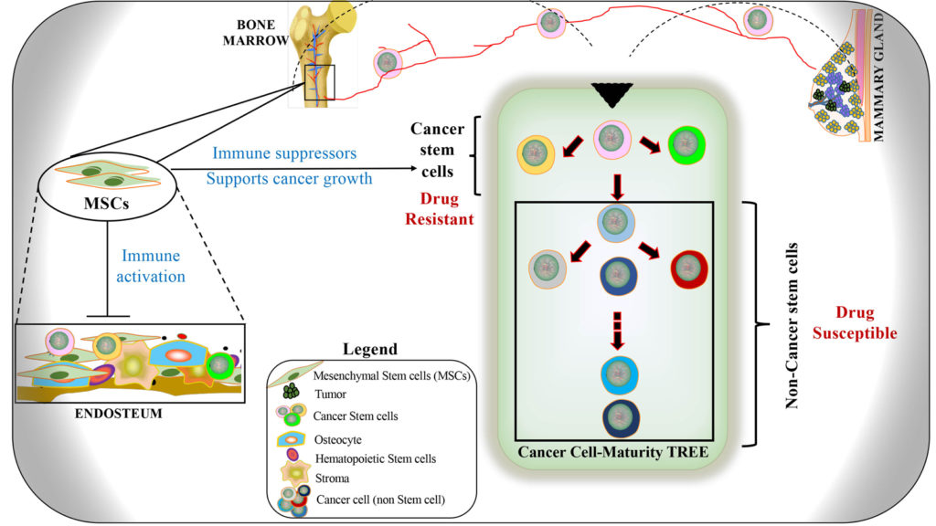 The cancer cell maturation tree in the context of behaior. Shown are Cancer stem cells (CSCs) from the primary and secondary sites (bone marrow). The CSCs are resistant to current treatments and are functionally immature.