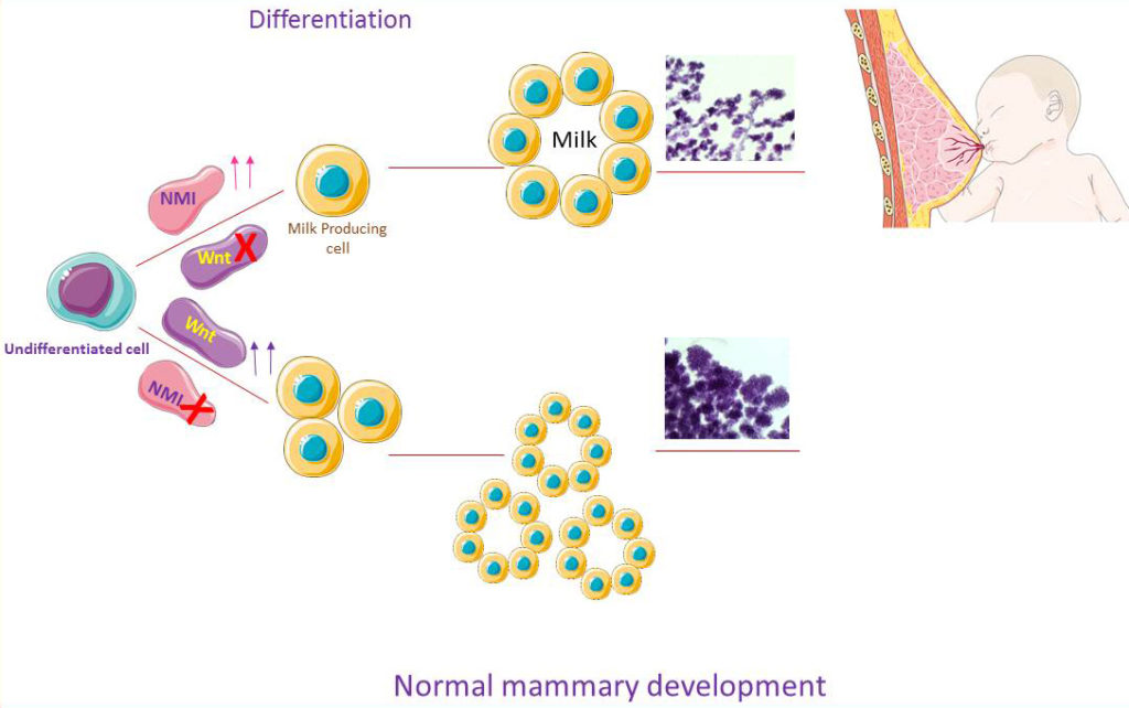 Schematic illustration of the role of NMI in normal mammary development during pregnancy and lactation. Loss of NMI leads to increase of the number of alveoli and uncontrolled proliferation of the mammary tissues.