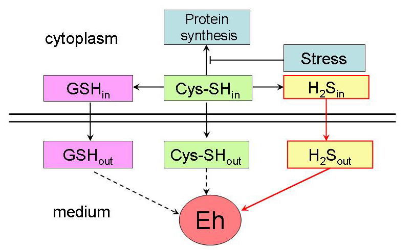 Proposed scheme of the relation between sulfide excretion and changes in the redox potential (Eh) in E. coli cultures under stress conditions.