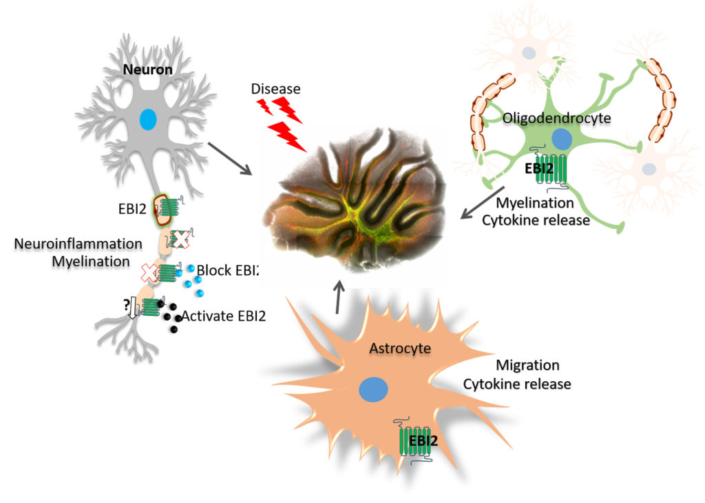 EBI2 receptor in different brain cells and its role in brain disease.