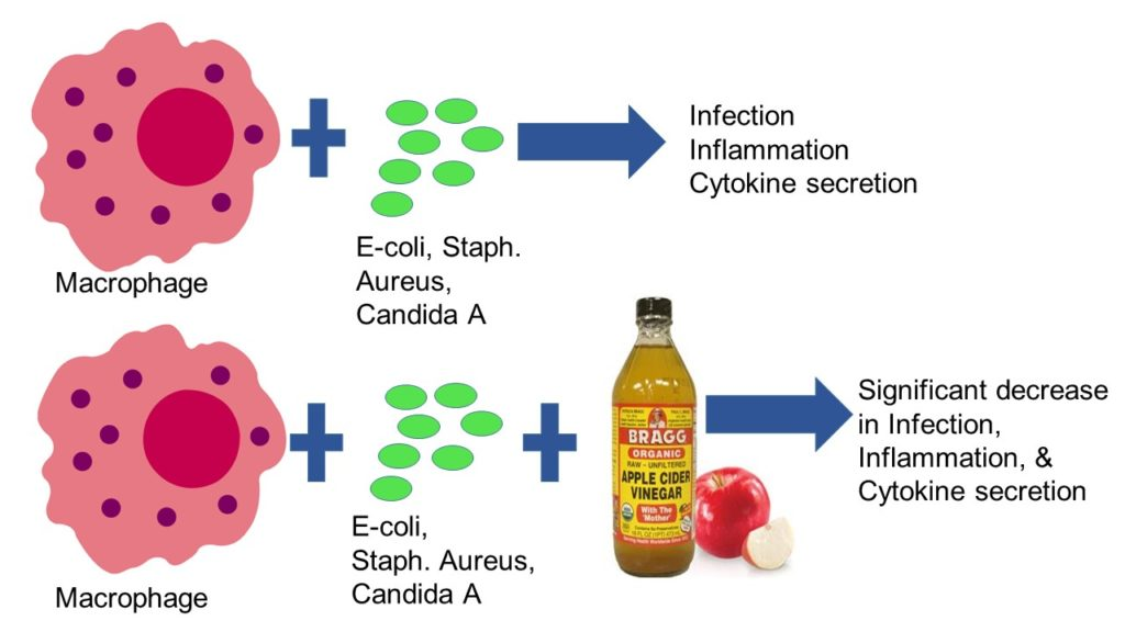 The effect of apple cider vinegar on white blood cell clearance of microbes