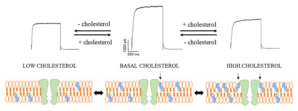 depletion or enrichment of plasma membrane cholesterol