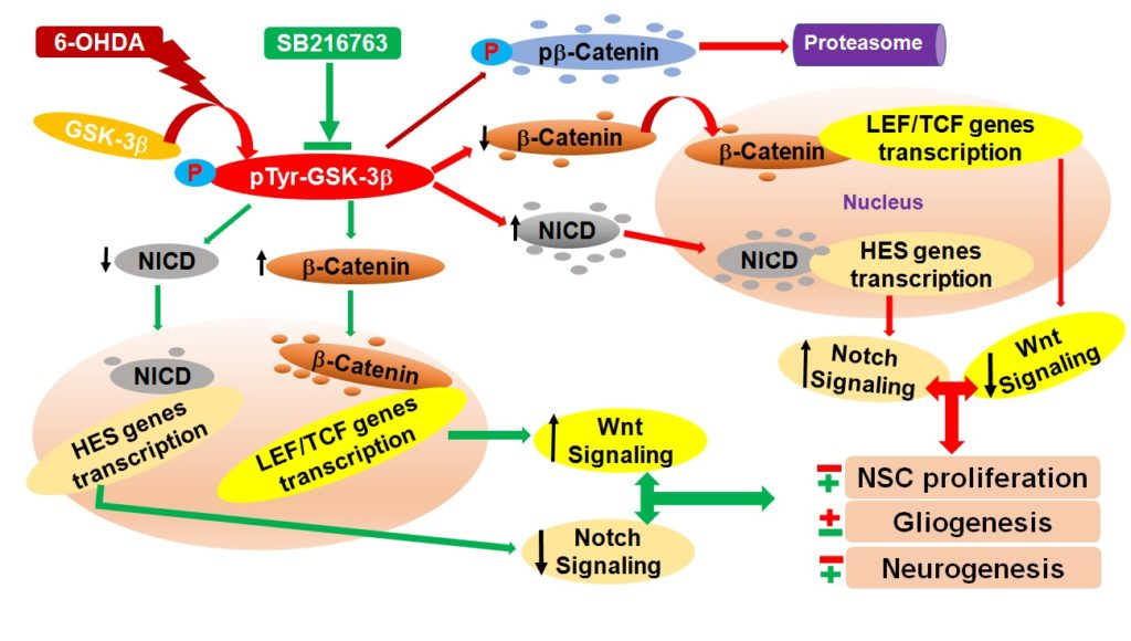 GSK-3 beta: a therapeutic target for Parkinson's disease