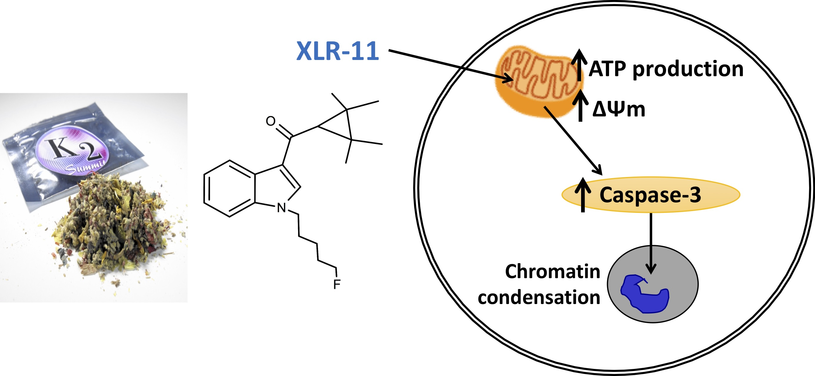 The synthetic cannabinoid XLR-11 and the impaired control of mitochondrial function by the endocannabinoid system as its underlying mechanism of nephrotoxicity