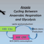 link between aerobic respiration and anaerobic respiration