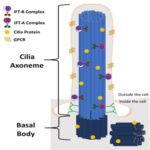 Structure of a Primary Cilium