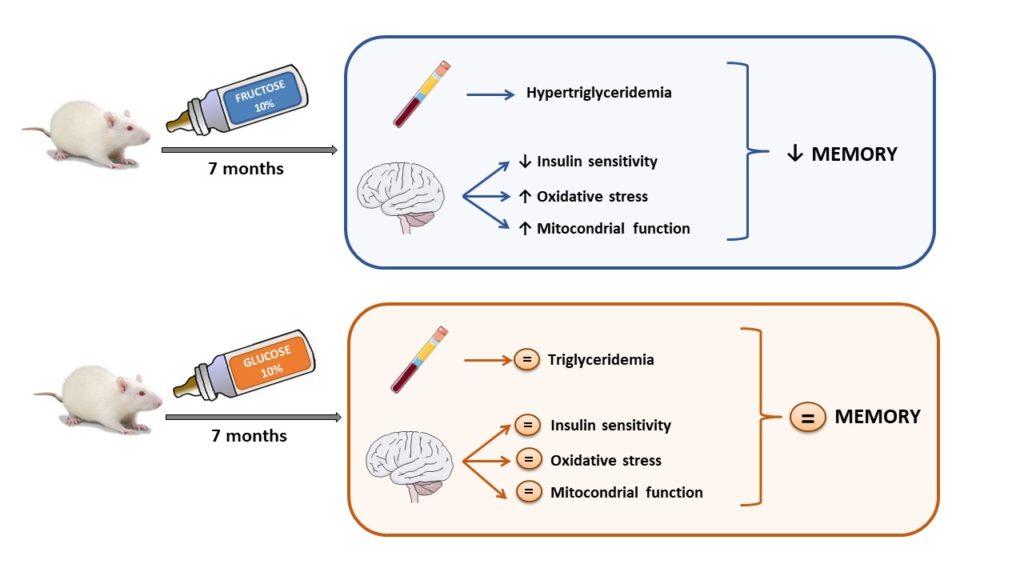 Can glucose or fructose consumption impair memory