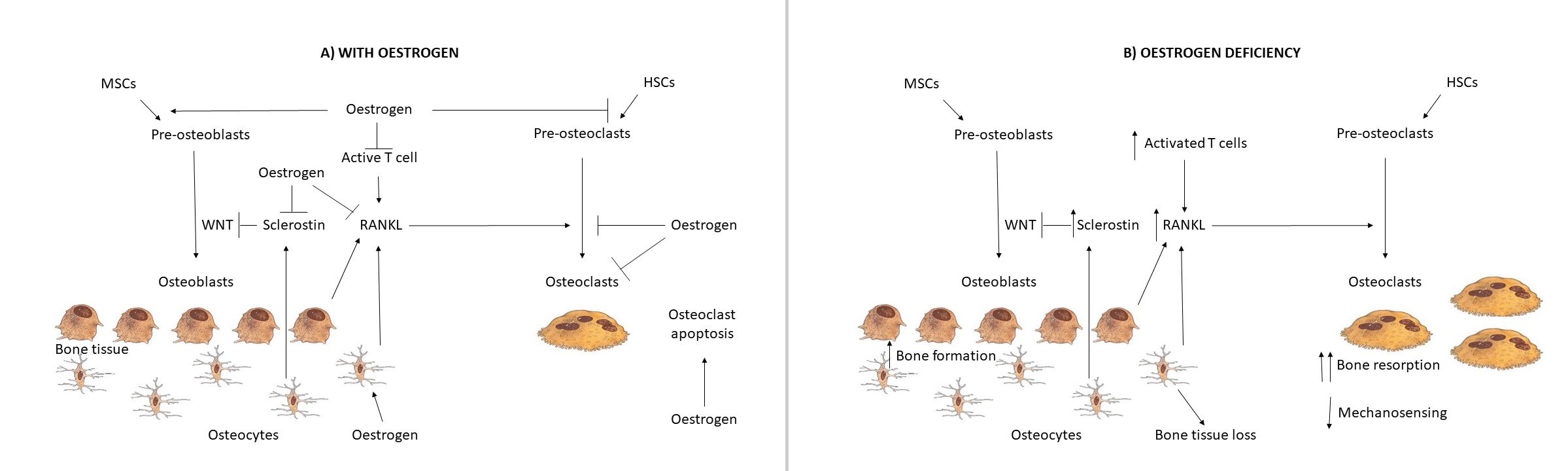 Role of oestrogen in bone remodeling