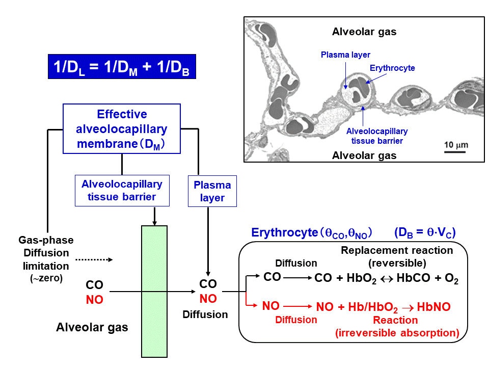 Schematic presentation of CO and NO transfer from alveolar gas to erythrocyte