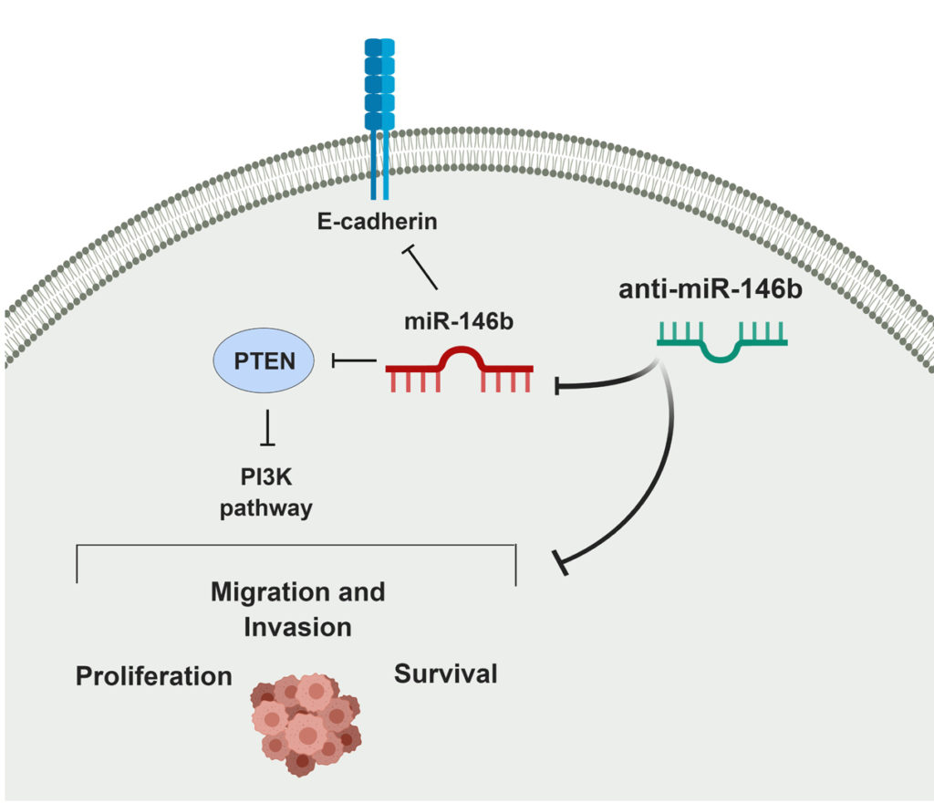 Schematic model explaining the oncogenic actions of miR-146b and the consequences of its inhibition in thyroid cancer