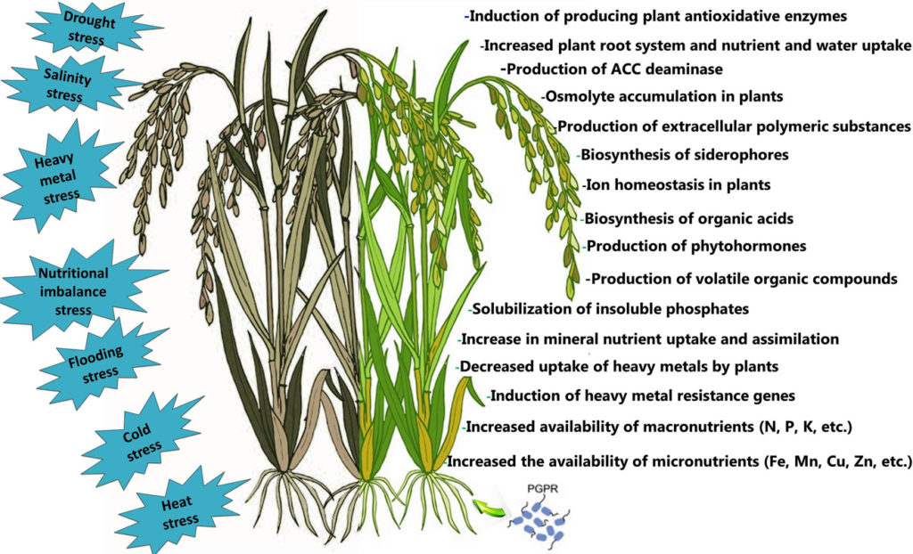 Some of action mechanisms of PGPR in alleviating abiotic stresses in plants
