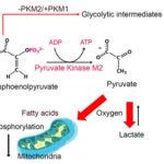 Pyruvate kinase M2 isoform regulates photoreceptor structure