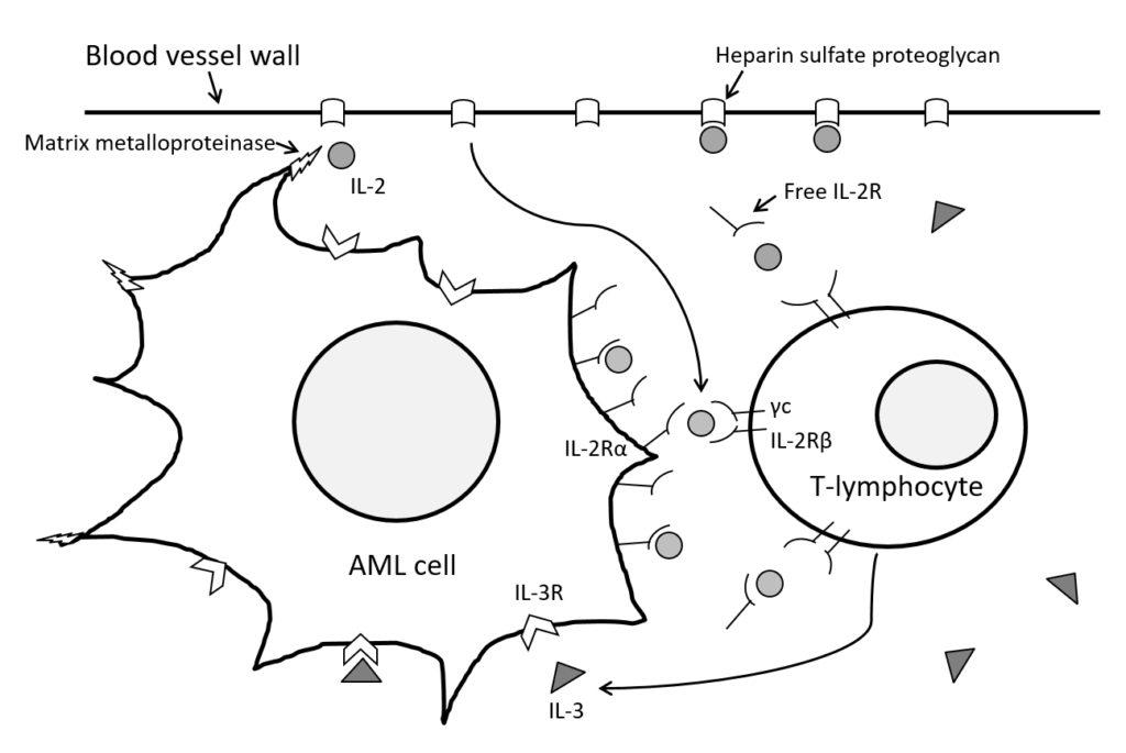 acute myeloid leukemia cells