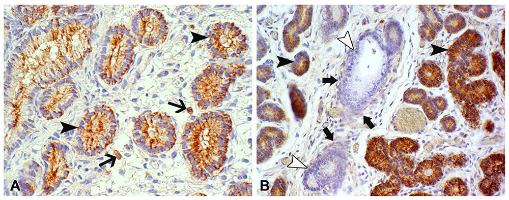 Detection of IDO protein in the equine endometrium by immunohistochemistry