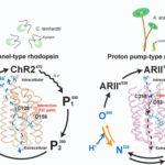 proton-pump type microbial rhodopsins
