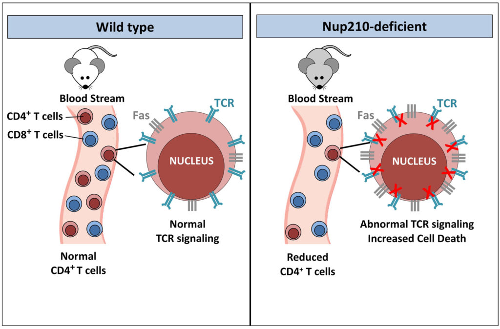 Model showing the effect of Nup210 ablation in mouse CD4 T lymphocytes