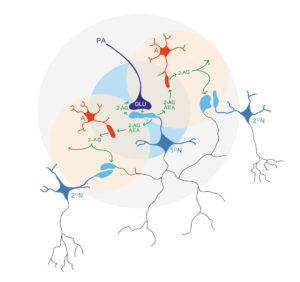 Schematic representation of the neuron-astrocytes-neuron bidirectional. Atlas of Science