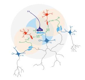 Schematic representation of the neuron-astrocytes-neuron bidirectional. Atlas of Science