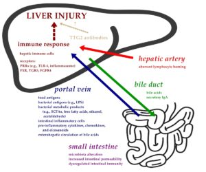 Gut-liver axis and putative pathogenesis of liver injury in celiac disease. Atlas of Science