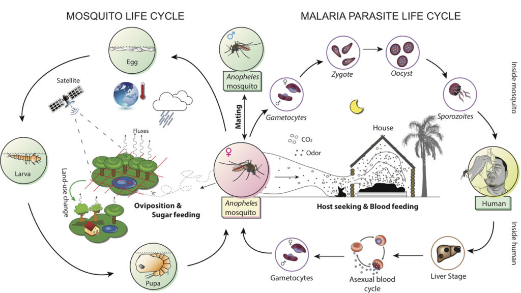 Life cycles of Anopheles mosquitoes and Plasmodium parasites. Atlas of Science