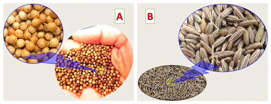 Seeds of Coriandrum sativum and Cuminum cyminum. Atlas of Science