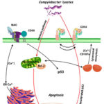 Schematic representation of monocyte responses to Campylobacter jejuni lysates. AoS