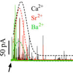 Secretory responses induced by divalent cations in permeabilized chromaffin cells. AoS