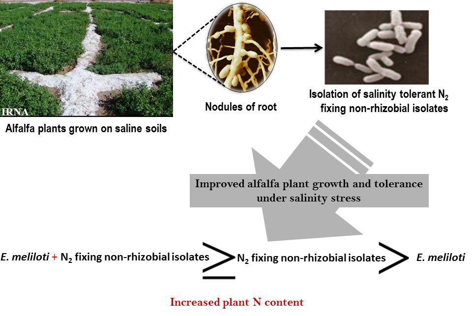 Root nodules of plants grown on salt–affected soils. Atlas of Science