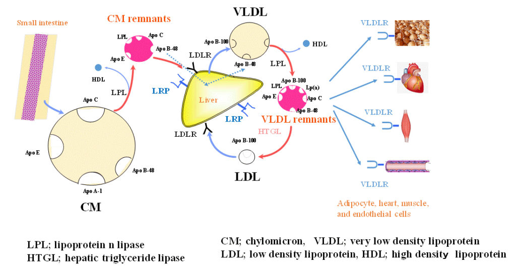Metabolic pathway of postprandial lipoproteins after fat intake. Atlas of Science
