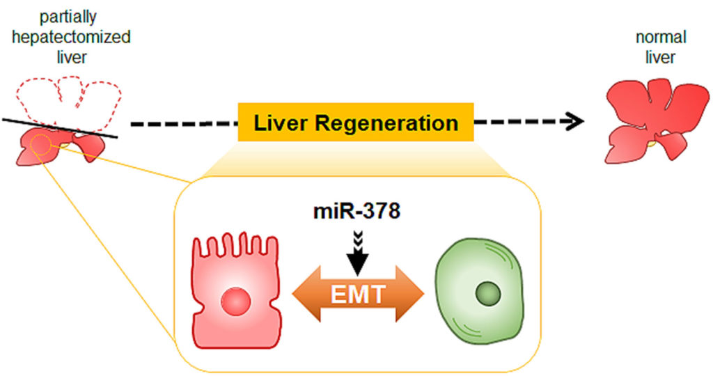 Scheme of miR-378 function during liver regeneration. Atlas of Science