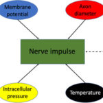 The propagating nerve impulse is a complex phenomenon. AoS