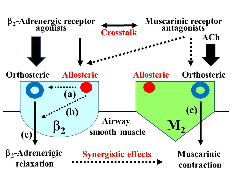 Ca2+ dynamics and allosterism in synergistic. AoS