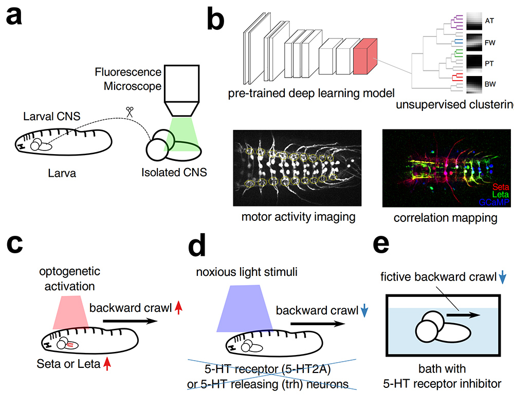 Understanding the behavior of fly larvae. Atlas of Science