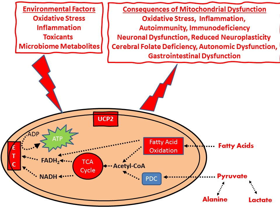 Mitochondrial Dysfunction In Autism Spectrum Disorder. Atlas of Science