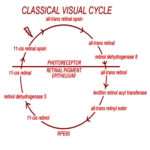The structure and role of visual cycle proteins. AoS