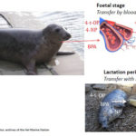 Are Baltic grey seals. AoS