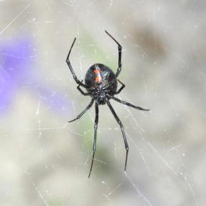 Western black widow spider. Atlas of Science